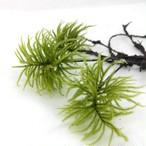 【高原の苔】 コウヤノマンネングサ 3本 大型の希少種