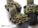 ポリフィラ(モナンテス属)多肉植物