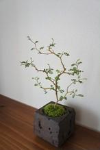 盆栽 ソフォラリトルベイビー