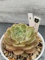 多肉植物 韓国苗 オウンスロー☆No.2