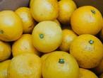 伊豆ニューサマーオレンジ(中BOX:5kg)皮まで安心!オールナチュラル 農薬不使用 手摘み  旬 季節の柑橘 初夏 日向夏みかん 2021年産  天然ビタミン 果実の水分で熱中症予防【税込・クール送料込】