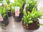 多肉植物 若緑  ワカミドリ(クラッスラ属)いとうぐりーん 産直苗 2号