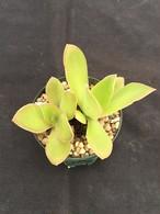 uxorium cordoba(koehres種子発芽苗)