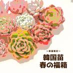 【数量限定】春の福箱 韓国苗7種+おまけ 多肉植物