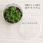 【苔テラリウム】小さなコケの森ミニシャーレ ホソバオキナゴケ