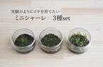 【苔テラリウム】 小さなコケの森 ミニシャーレ お任せ3種set