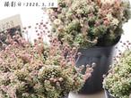 ★残り2点★アミドロス(モナンテス属)多肉植物