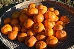 自然栽培 金の蜜柑  5kg