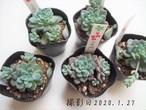 多肉植物 ラウ165(エケベリア属)いとうぐりーん 産直苗 2号