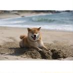 柴犬まる;ポストカード;穴掘りまる