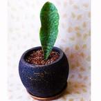 観葉植物 サンセベリア ハワイ 陶器鉢入