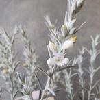 エレモフィラ ホイップクリーム 白花