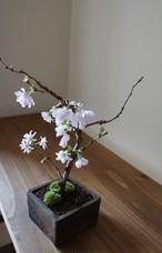 盆栽 十月桜