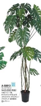 モンステラ 「聖なる樹」「湧出の幸運」  高さ:173cm