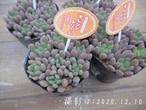 多肉コレクション オレンジドリーム(セダム属)2.5号 多肉植物