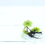 カサゴケ 5本 湿度の高い環境を好む テラリウム 苔玉に 苔 コケ!