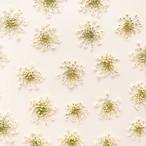 真空パック【30枚】レースフラワーの押し花 ホワイト