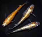 *伊香保FF BASE限定* 紅灯 (2021年産まれ)稚魚 10匹  ikahoff U-0404-8322-c