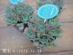 多肉コレクション ミニベル(エケベリア属)2.5号 多肉植物