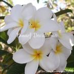 Dwarf Deciduous White