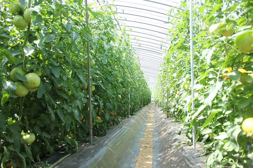 夏の大人気メニュー「 トマトすき焼き」のトマトは、奈良市生まれ。