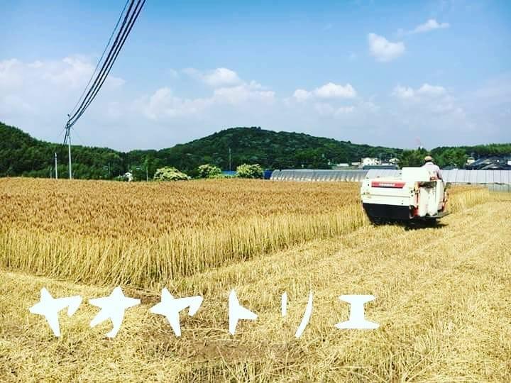 自然栽培小麦の収穫