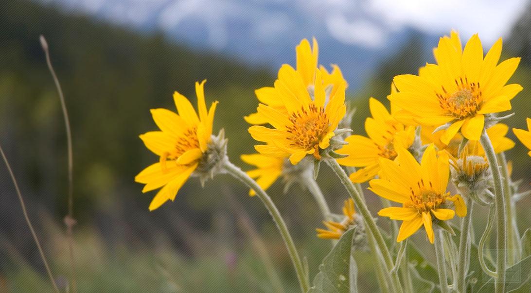 オーガニック コスメ 夢椿|大自然の恵み ARNICA Flower (アルニカフラワー)
