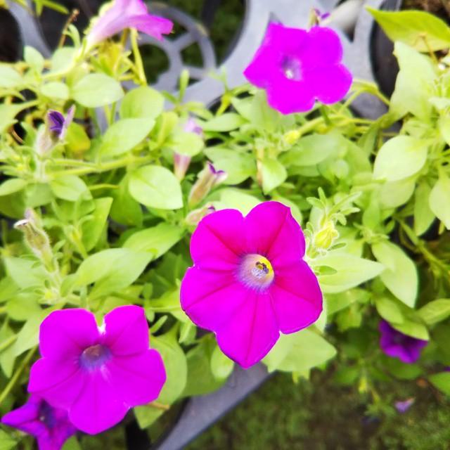 宿根ペチュニア、開花中♪