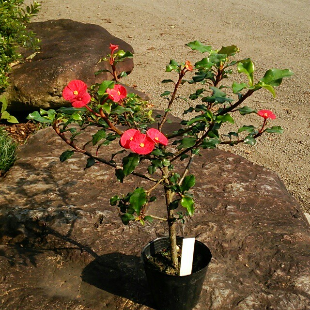 トゲナシハナキリン、開花中♪