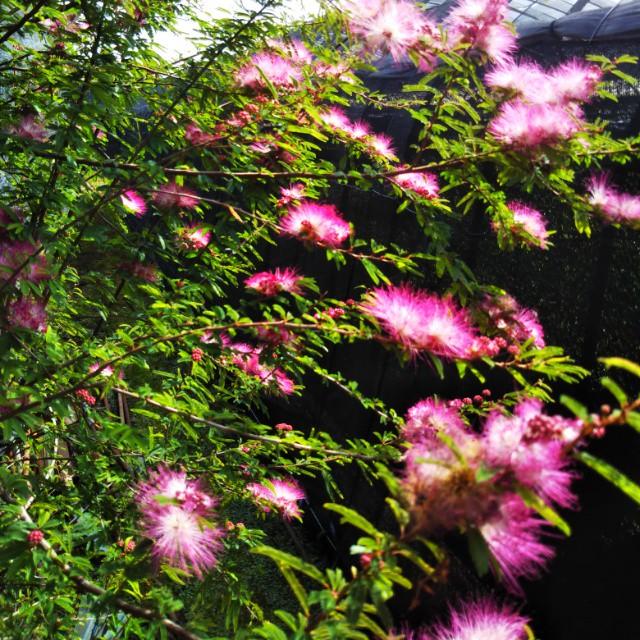 ウンナンネムノキ、開花中♪