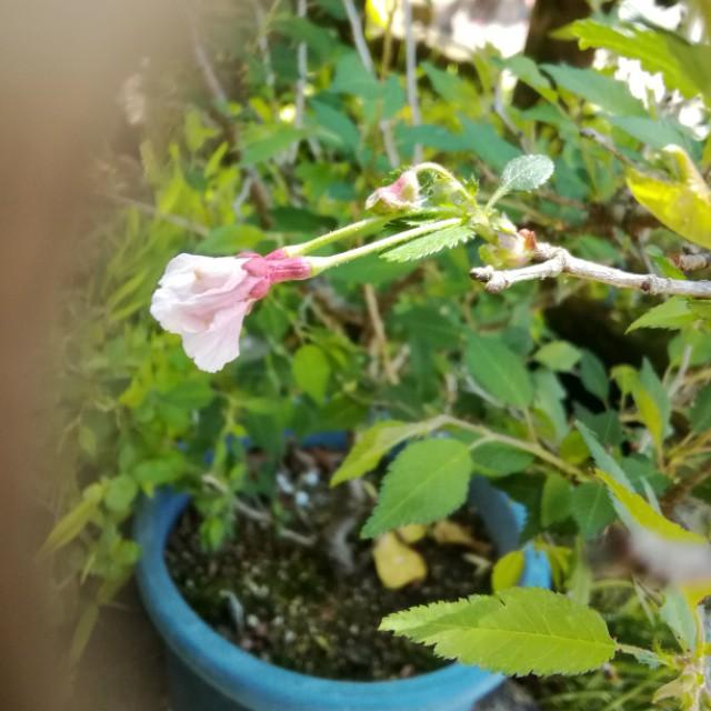 富士桜・湖上の舞、開花♪