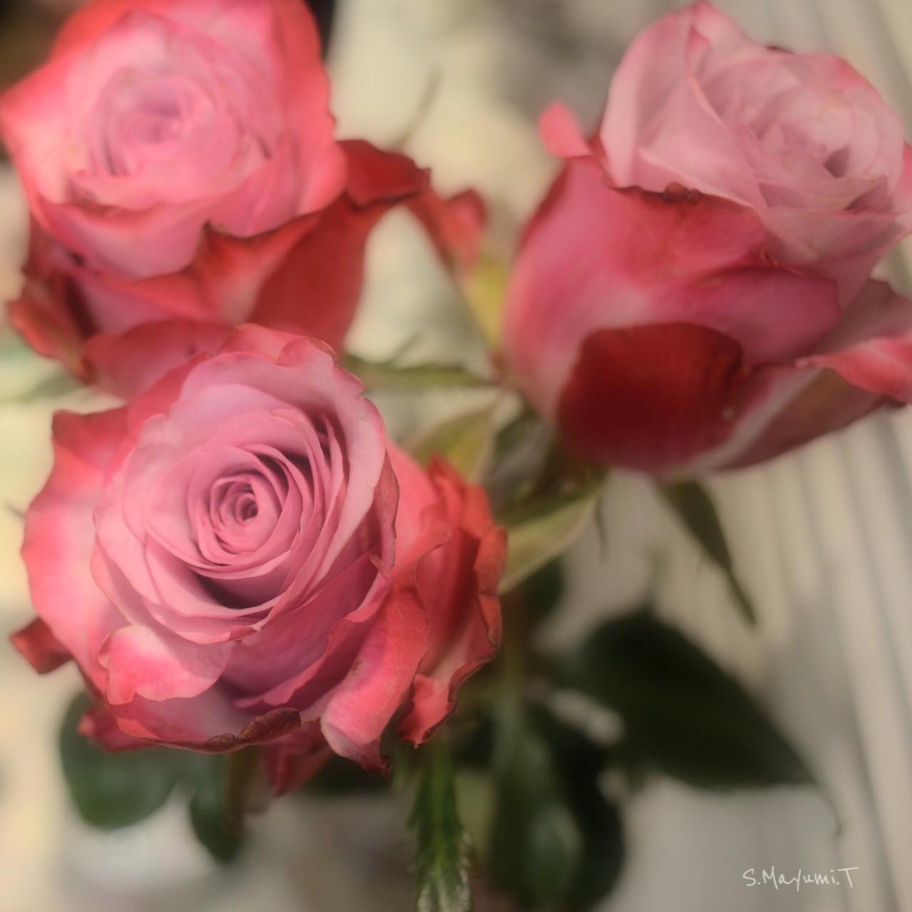 優しい色合いの薔薇