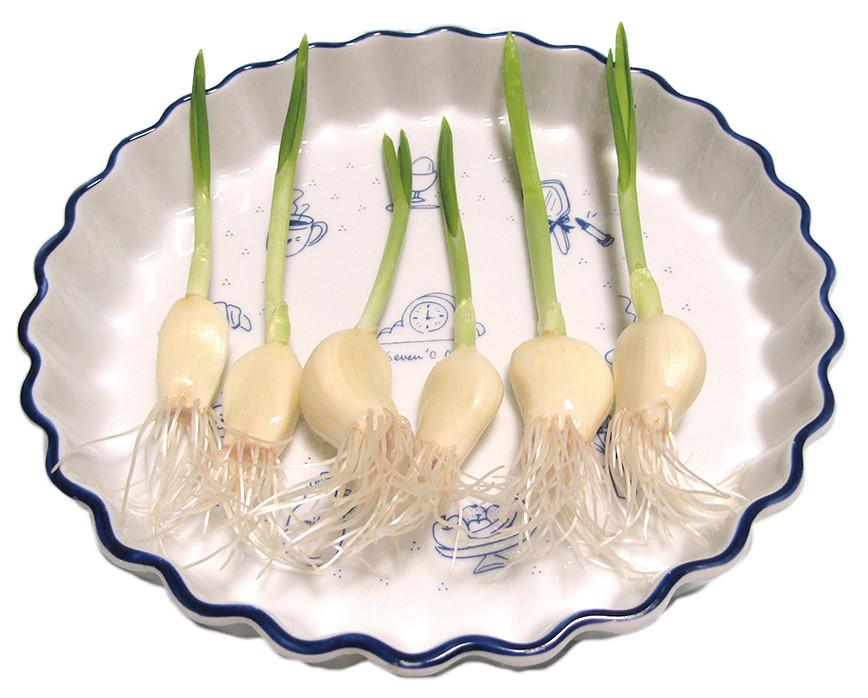 知る人ぞ知る「発芽ニンニク」キッチンで栽培できちゃいます