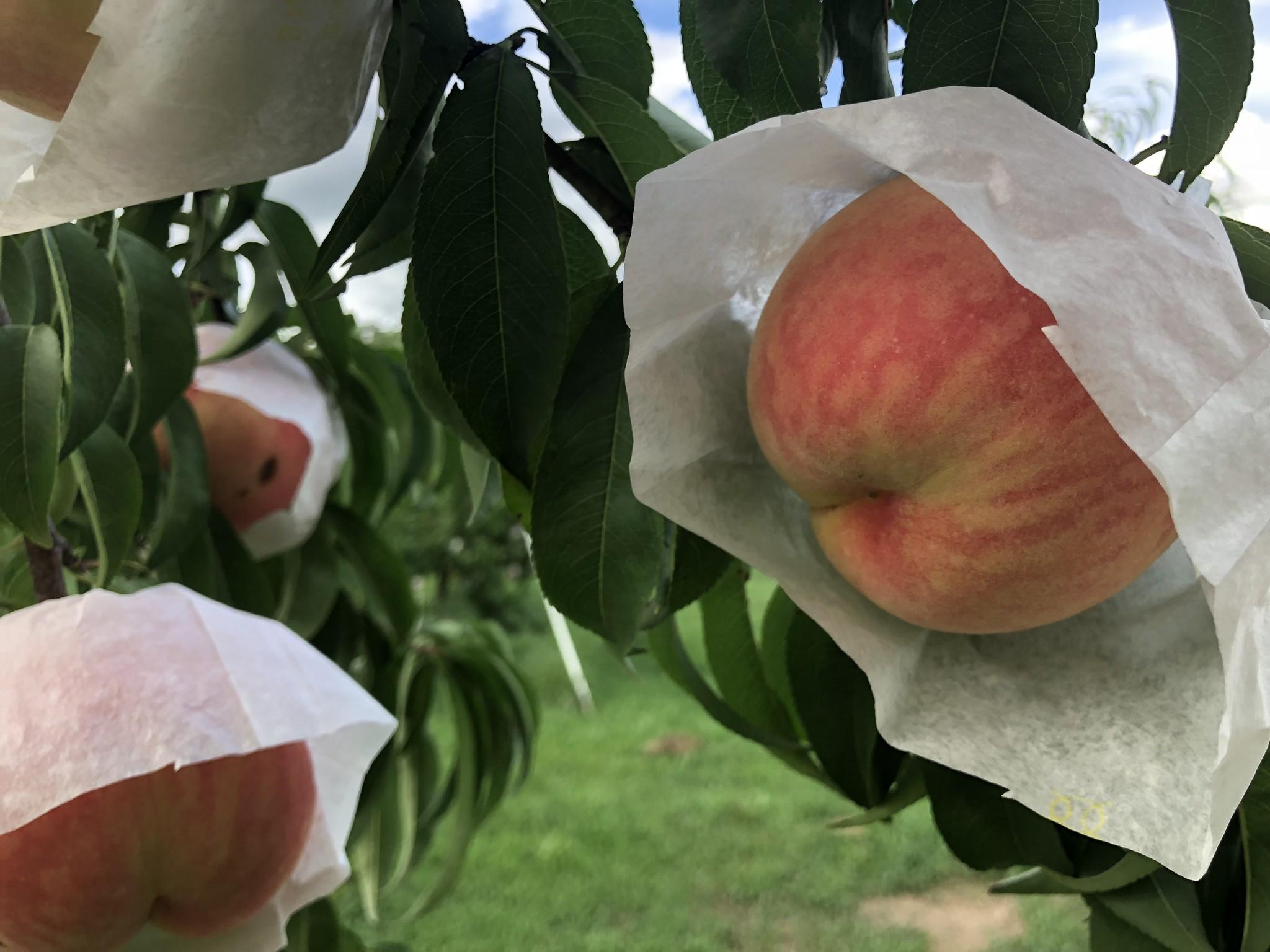 夏の最後はこれで決まり!絶品品種『伊達白桃』販売開始!