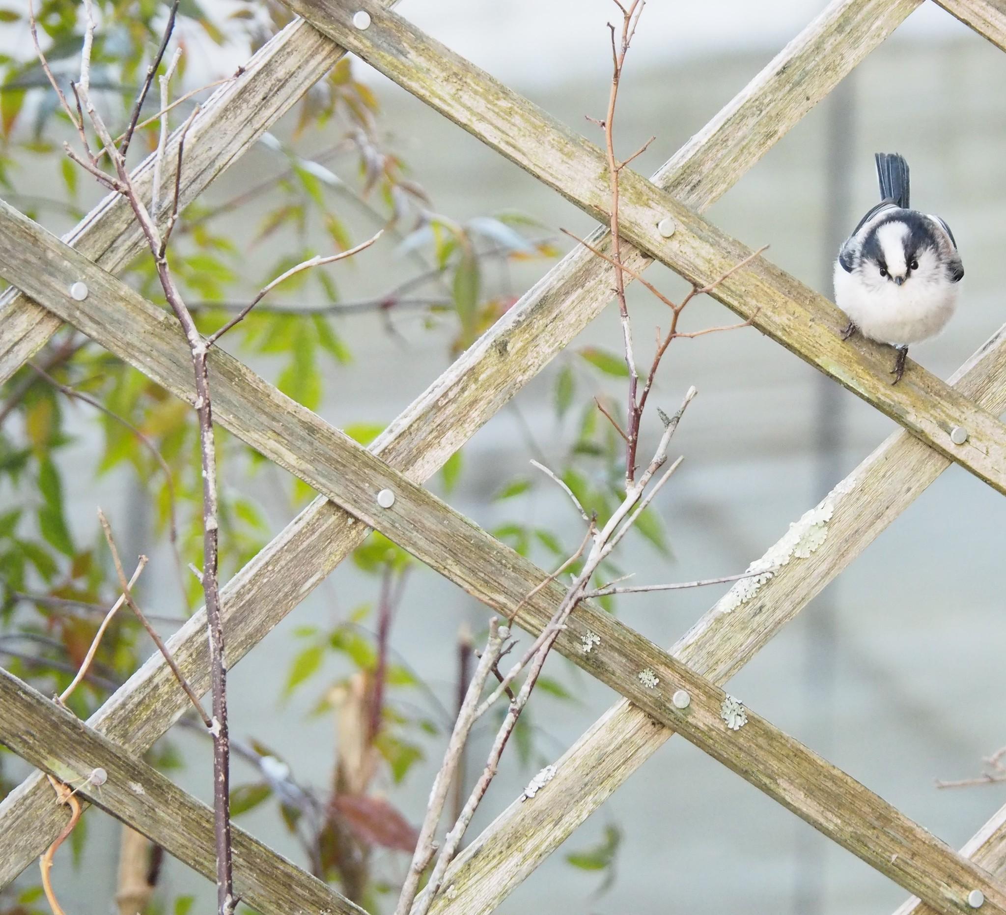 もふもふの鳥が来ます