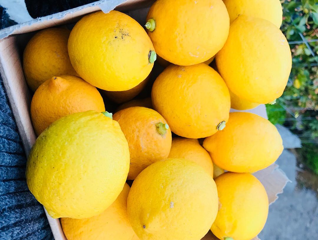 【完全無農薬レモン&はっさく】レモン収穫量日本一の「広島・瀬戸田」から産地直送でお届けいたします!