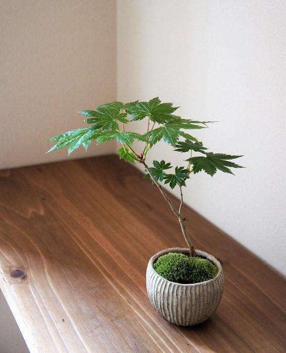 盆栽とともにこころゆたかに暮らしませんか