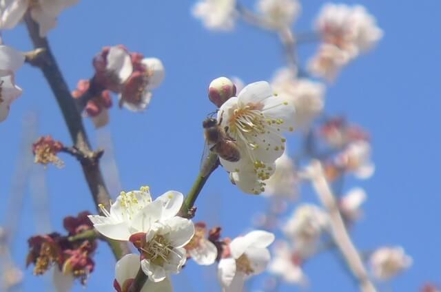 梅の花に寄る蜂さん