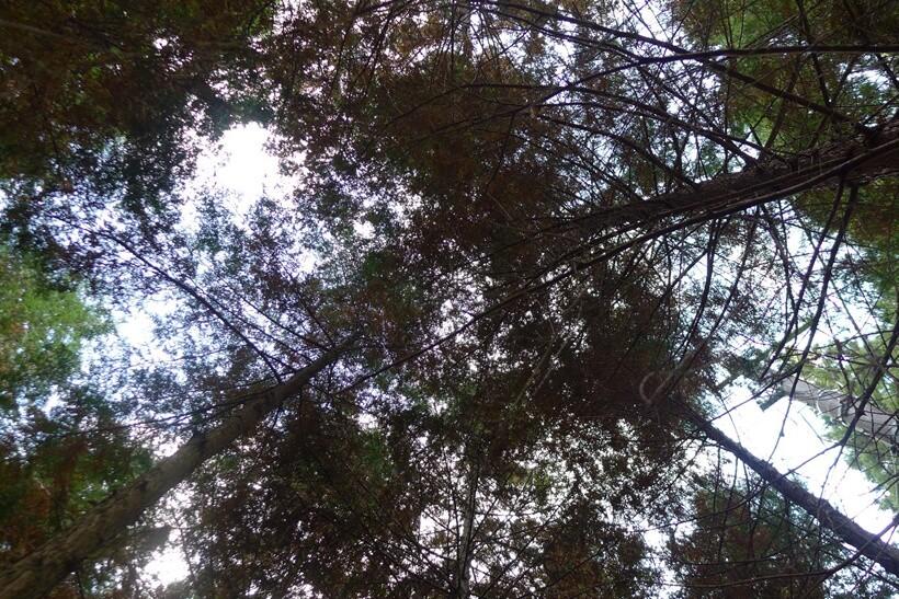ひのきの木