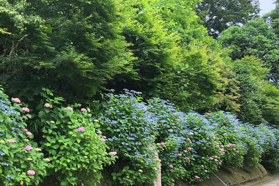<長谷店日記>今年の紫陽花は、、