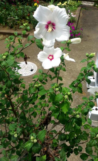 ムクゲ(木槿):短命な花を日々咲かせ続ける、真夏の代表的な花木