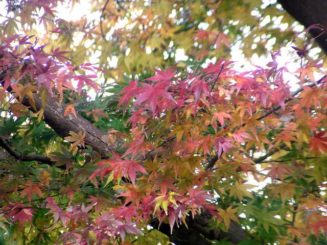 カエデ(モミジ):掌のような葉が季節によって色を変える、古くから愛されてきた庭木の定番