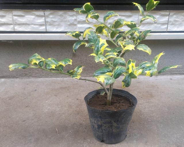 """斑入りチャイニーズホーリー """"オー・スプリング"""":濃緑色と濃黄色の、亀甲型の葉が特徴のカラーリーフ"""