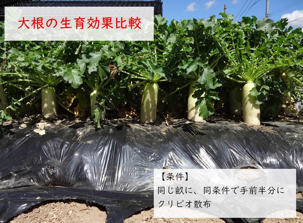 クリビオ農園芸用 効果比較実績:大根