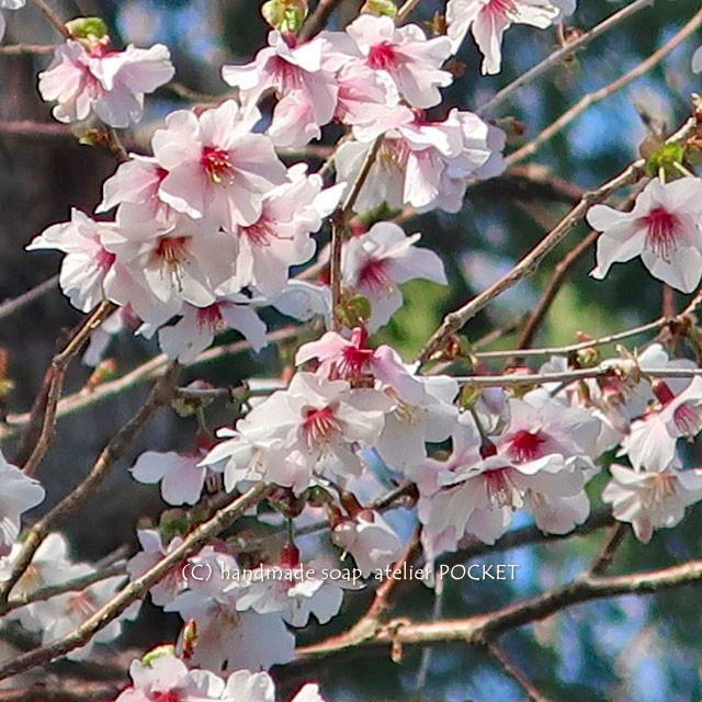 豆桜も満開しました♪