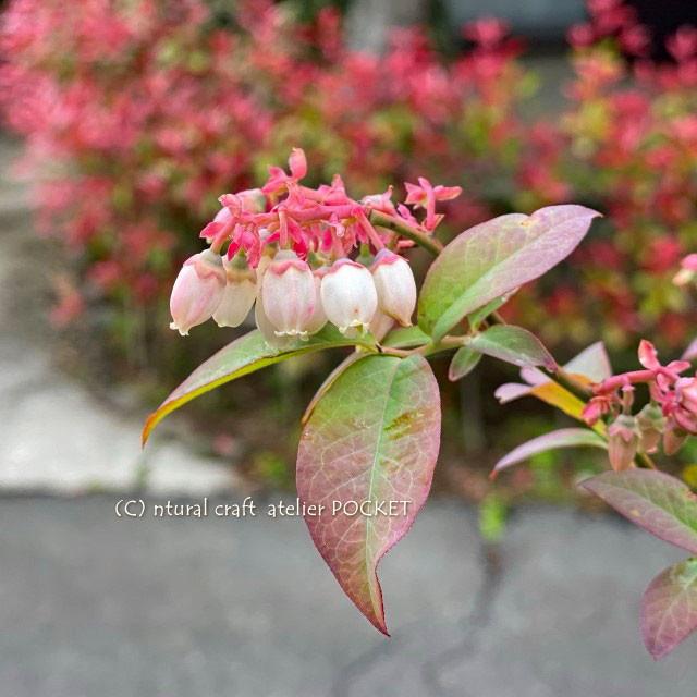 ブルーベリーの花&ルバーブ♪