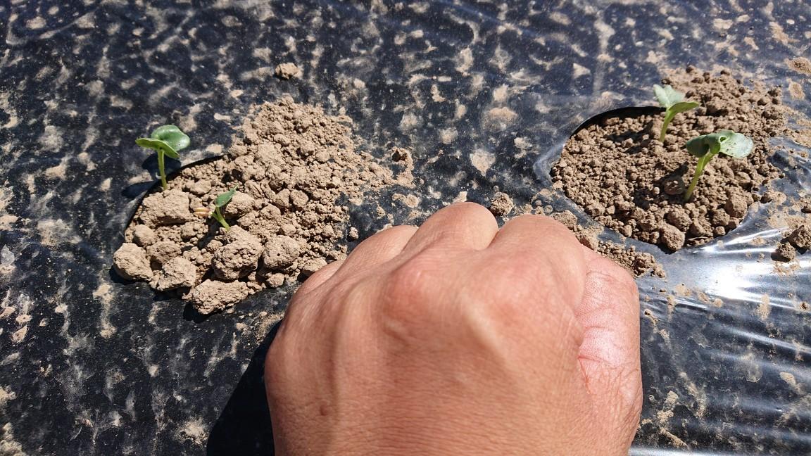 オーガニック カラー大根の発芽