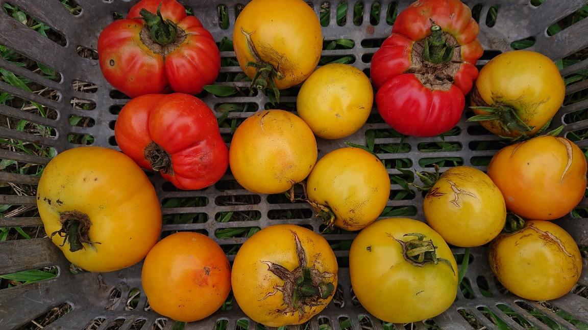 フロリダの在来トマト