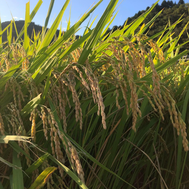 自家農園のお米完売致しました!