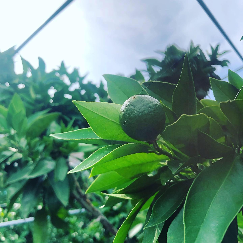 摘果の季節